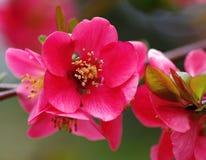 Specificera av den körsbärsröda blomningen Royaltyfri Foto