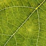 Specificera av en leaf Arkivfoto