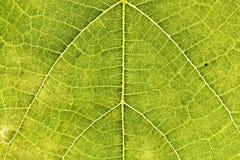 Specificera av en leaf Royaltyfri Bild