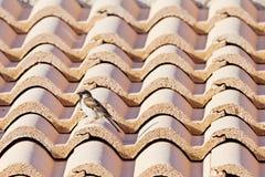 Sparrow på en taklägga Fotografering för Bildbyråer