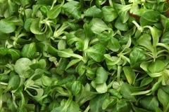 Specificera av ny grön machegrönsallat Royaltyfri Bild