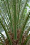 Palmträdet förgrena sig Royaltyfri Fotografi