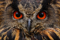 Specificera framsidaståenden av fågeln, stora apelsinögon och räkningen, Eagle Owl, Bubobuboen, det sällsynta lösa djuret i natur Royaltyfri Fotografi