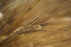 Specificera och texturera vetegrova spiken på ett stånd på den San Jordi dagen i Catalunya arkivfoton