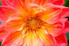 Specificerad hjärta av dahlian Royaltyfri Bild