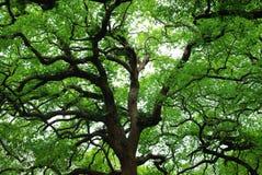 Gammal tree Arkivbilder