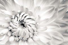 Specificerar den nya blomman för den vita dahlian makrofotografi Svartvitt fotoblommahuvud som betonar bakgrund för texturhöjdpun arkivfoton