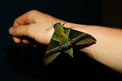 Specificerat tätt upp av huvudet av en hökmal eller en Sphingidae som sitter på en arm i Ecuador royaltyfri bild