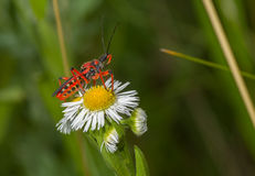 Specimen of Assassin bug sitting on a wild camomile flower Royalty Free Stock Image