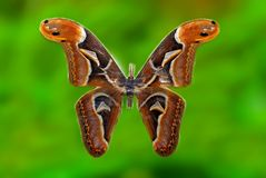 Specimen of big Atlas moth. S royalty free stock image