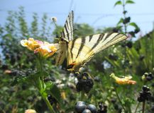 Specimen of butterfly Scarce Swallowtail Stock Photos