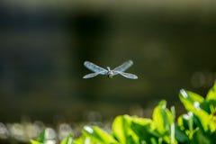 Specimen of dragonfly Stock Photo