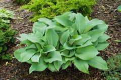 Specimen hosta plant Royalty Free Stock Photos