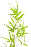 Specimen of Japanese bamboo on white Stock Photography