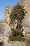 Specimen of Phoenician juniper Royalty Free Stock Photography