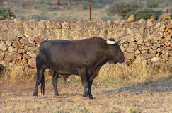 Specimen of Spanish free range fighting bull breed on extensive Stock Photos