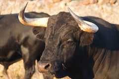 Specimen of Spanish free range fighting bull breed on extensive Stock Image