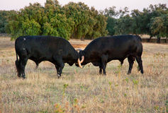 Specimen of Spanish free range fighting bull breed on extensive Stock Photography