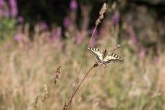 Specimen van vlinder Stock Fotografie