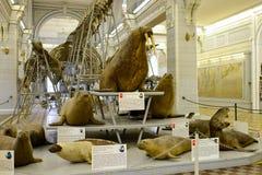 Specimen van walrus en overzeese honden stock foto's