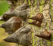 Speciosa Ceiba - το δέντρο νήματος μεταξιού στοκ φωτογραφίες