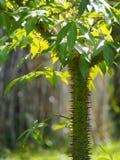 Speciosa Ceiba Стоковые Изображения RF