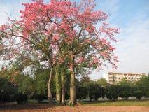 Speciosa Ceiba стоковое фото rf