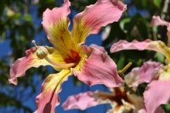 Speciosa Chorisia λουλουδιών Στοκ εικόνα με δικαίωμα ελεύθερης χρήσης