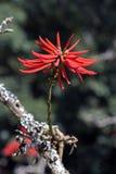 Speciosa d'Erythrina alba, une fleur brésilienne blanche étonnante Photographie stock libre de droits