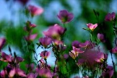 Speciosa d'Oenothera au soleil Photo libre de droits