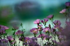 Speciosa d'Oenothera au soleil Photo stock