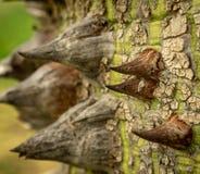 Speciosa de Ceiba - l'arbre en soie de soie photos stock