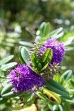 Speciosa de Hebe. Uma espécie de planta de florescência no Plantaginacea imagens de stock royalty free
