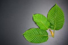 Speciosa de Mitragyna ou feuilles de Kratom photographie stock libre de droits