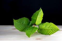 Speciosa de Mitragyna ou folhas de Kratom fotografia de stock