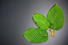 Speciosa de Mitragyna ou folhas de Kratom Fotografia de Stock Royalty Free