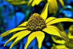 Speciosa de Rudbeckia de fleur de plante vivace, Rudbeckia Hirta Illustration de Vecteur