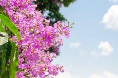 Speciosa del Lagerstroemia o árbol de la flor del ` s de la reina en naturaleza al aire libre Imagen de archivo