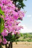 Speciosa del Lagerstroemia o árbol de la flor del ` s de la reina en naturaleza al aire libre Foto de archivo libre de regalías