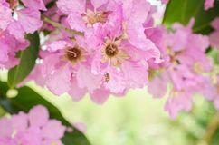 Speciosa del Lagerstroemia o árbol de la flor del ` s de la reina en naturaleza al aire libre Imagen de archivo libre de regalías