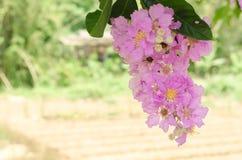 Speciosa del Lagerstroemia o árbol de la flor del ` s de la reina en naturaleza al aire libre Fotografía de archivo libre de regalías