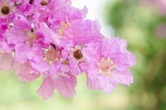 Speciosa del Lagerstroemia o árbol de la flor del ` s de la reina en naturaleza al aire libre Imagenes de archivo