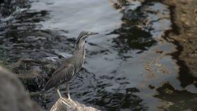 Speciosa di Ardeola dell'uccello dell'airone dello stagno di Javan in natura video d archivio