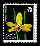 Speciosa di Ipsea - orchidea del narciso, serie indigeno dei fiori, circa 1976 Immagini Stock
