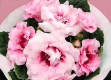 Speciosa rosa di sinningia di sonata di Gloxinia Fotografie Stock Libere da Diritti