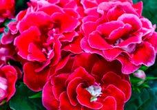 Speciosa rosso di sinningia di sonata di Gloxinia Fotografia Stock Libera da Diritti