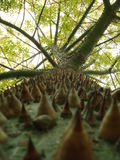 Speciosa spinoso di Choricera Chorisia del tronco di specie dell'albero Immagine Stock Libera da Diritti
