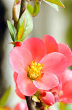 Speciose de Chaenomeles de coing fleurissant Photographie stock