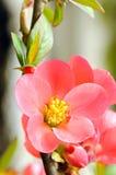 Speciose de Chaenomeles de coing fleurissant Image stock
