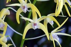 Speciosum de Dendrobium d'orchidée Photographie stock